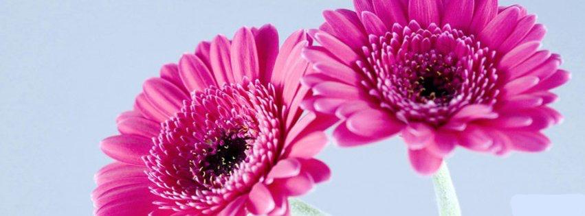 Purple_gerbera_daisies